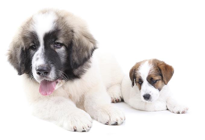 Los cachorros de razas grandes, ¿por qué tienen unas necesidades nutricionales específicas?