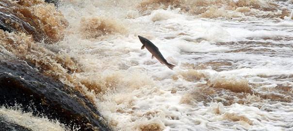 27 salmon