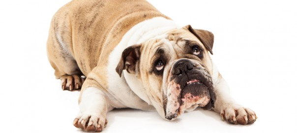 Bulldog Looking Guilty