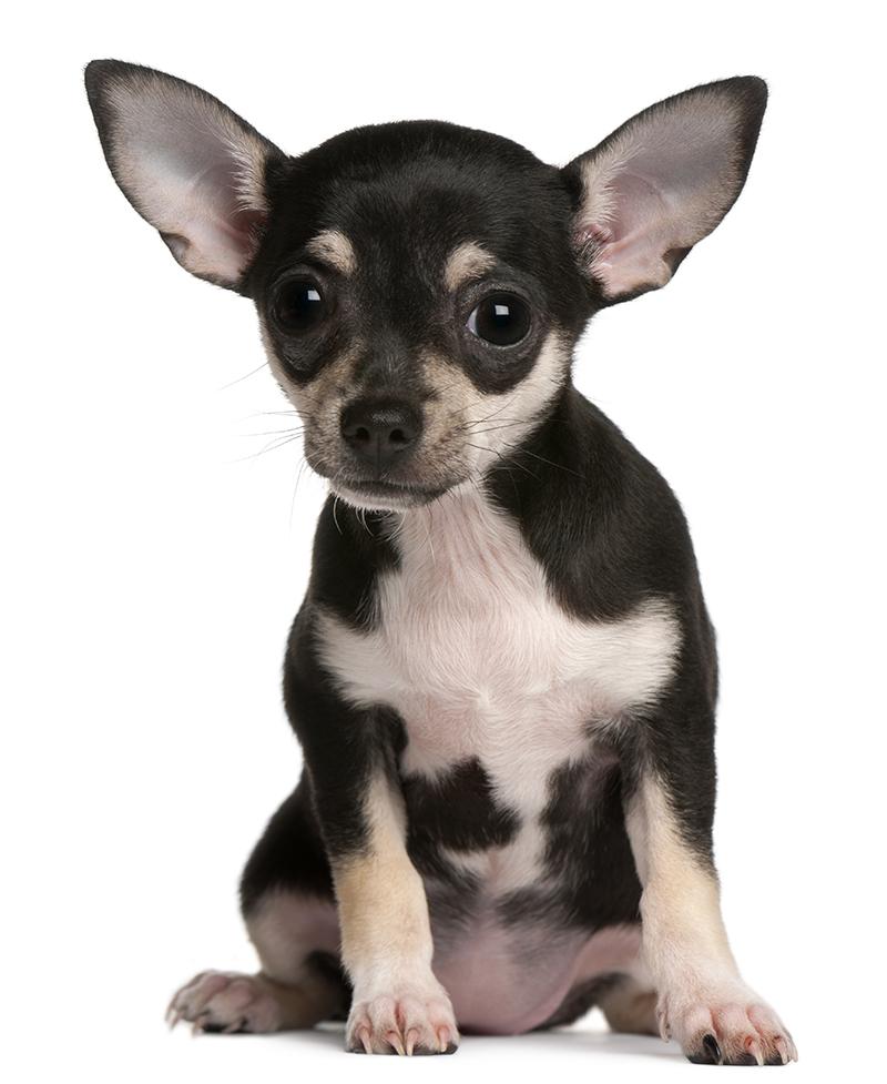 parasitos mas comunes en perros cachorros