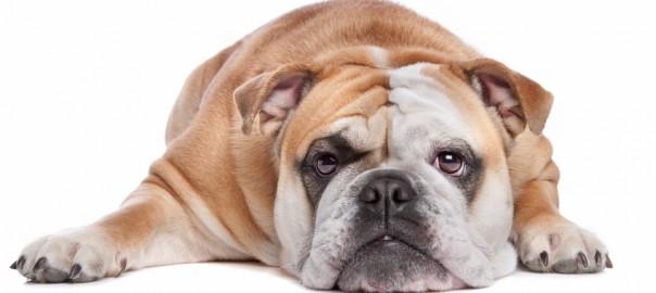 Un perro gordo qu problemas puede tener - Cuando se puede banar a un perro ...