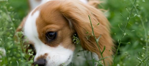 41 perro comiendo hierba