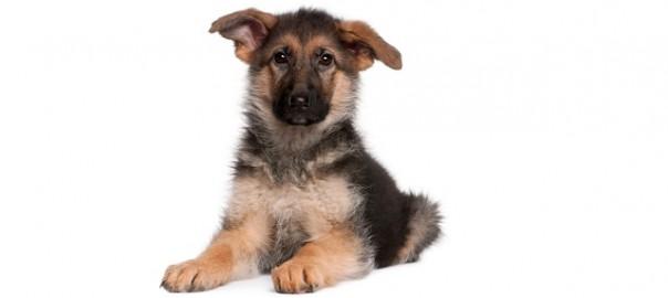 66 El calcio y orejas cachorro (1)