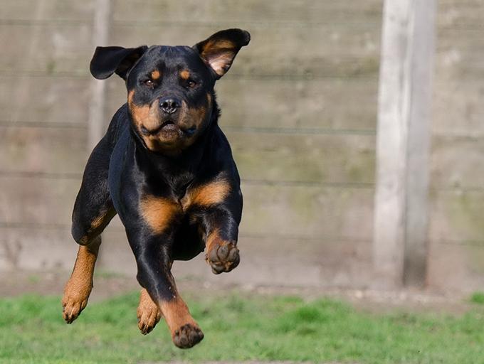 Cómo alimentar a los perros que hacen mucho ejercicio