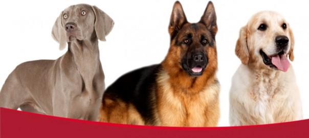 118 las mejores razas de perros para correr 19_01