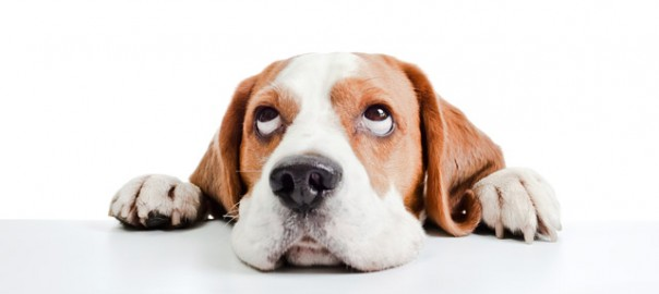 Un perro de otro la sarna a como contagia se