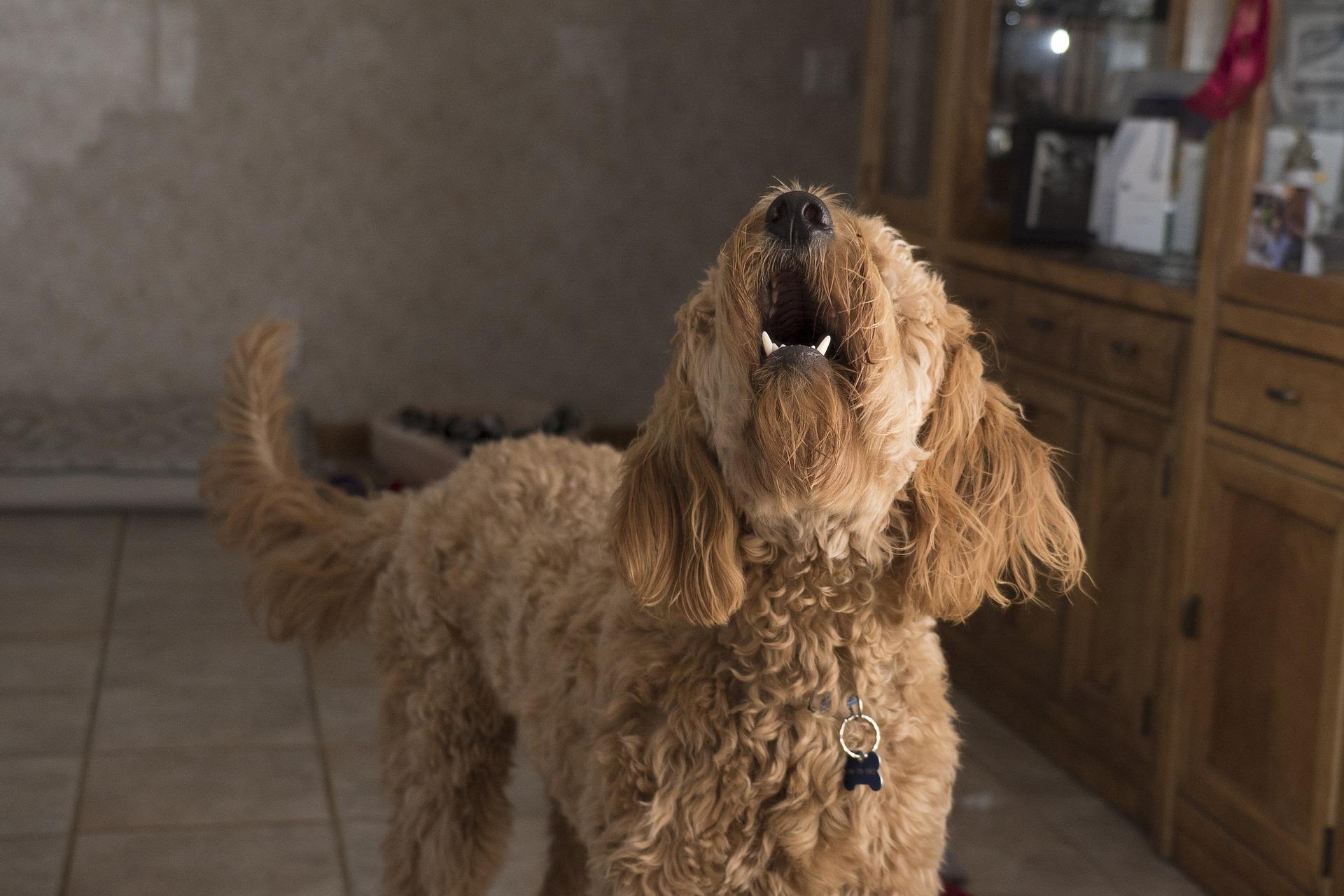 ladrido perro