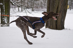 norwegian-mixed-breed-dog-skijoring-taking-part-race-dashing-fast-along-snowy-path-park-pulling-skier-55780079