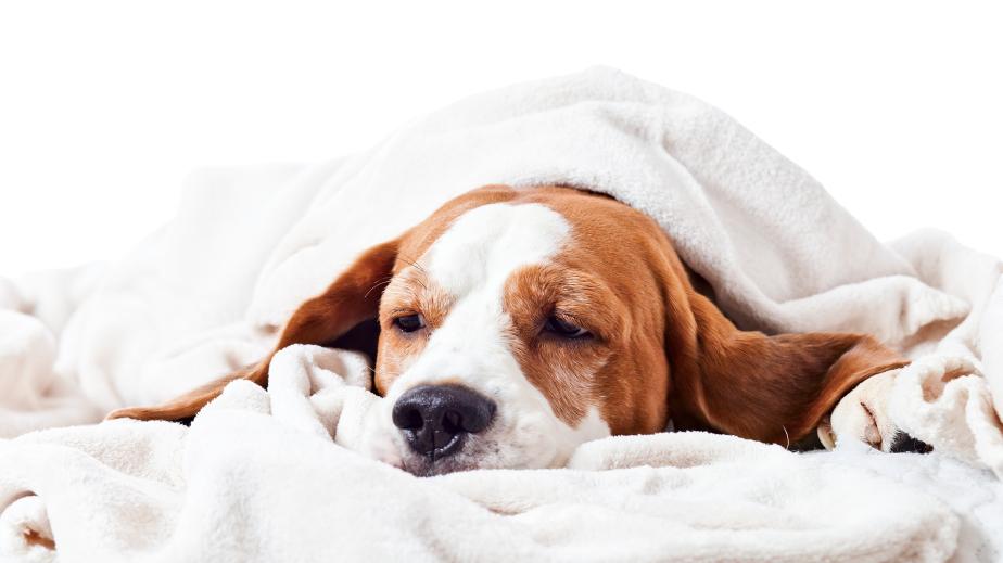 dog under a blanket on white