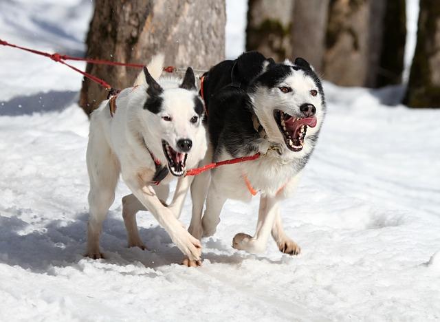 deportes de invierno caninos