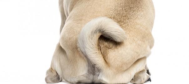 Glándulas anales de los perros. Lo que necesitas saber