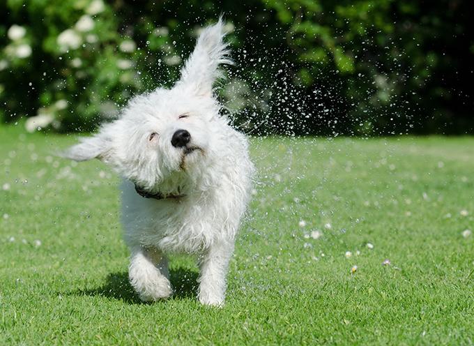 Cómo cuidar los oídos del perro en verano