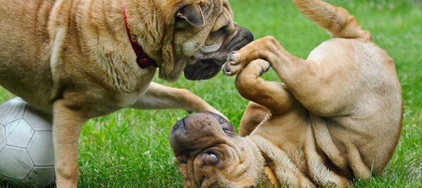 3 consejos para el éxito si quieres tener un segundo perro en casa