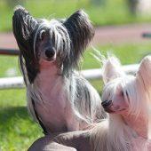 4 cosas que debes saber sobre el Perro Crestado Chino