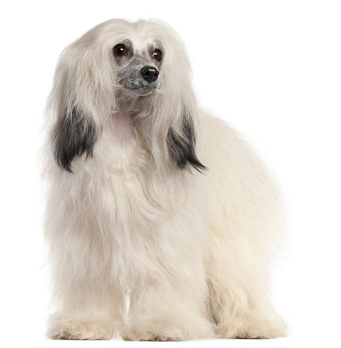 El Perro Crestado Chino. 4 cosas que debes saber