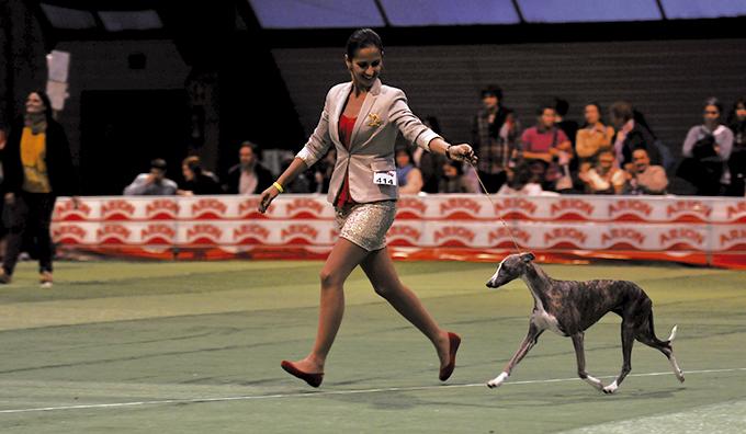 Handling: el talento de presentar correctamente un perro en una exposición de belleza