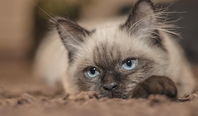 enfermedad periodontal en gatos