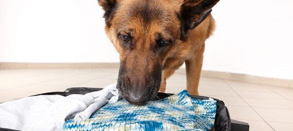 Mantrailing: el poder del olfato del perro