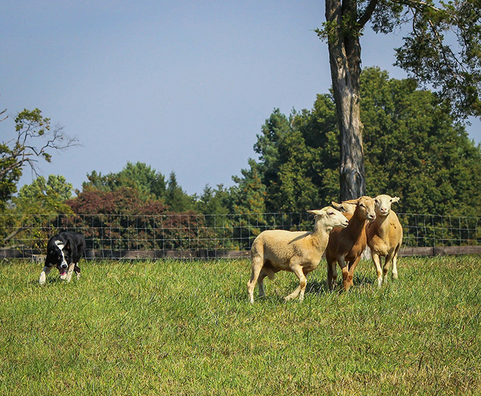 los perros pastores
