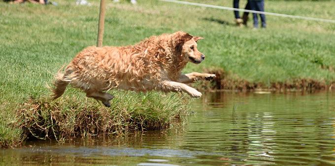Dog Diving, cuando el deporte es refrescante