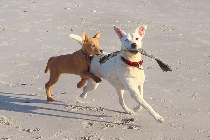 educar al perro dominante