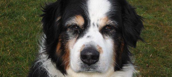 quiste en prostata perro