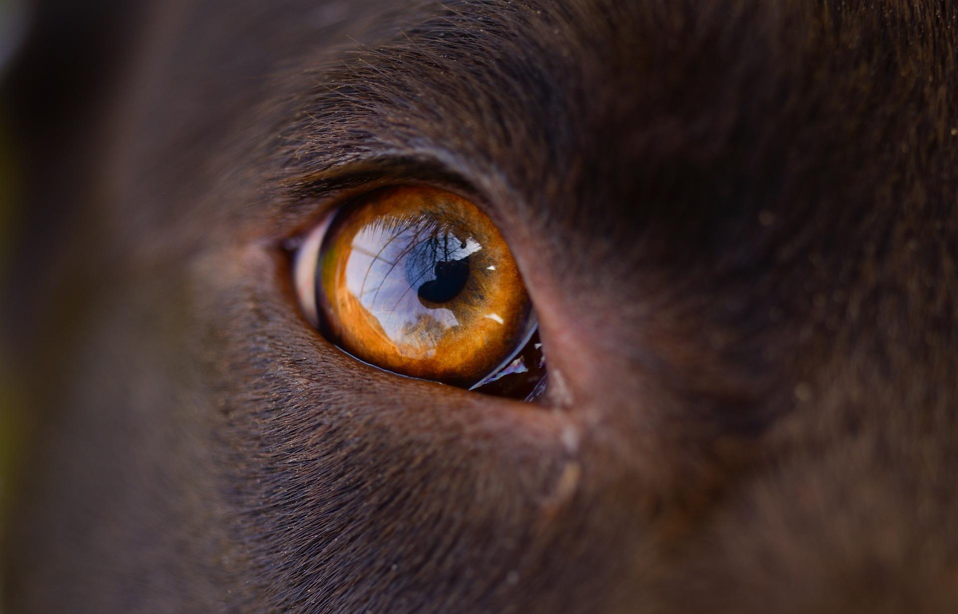 el perro tiene posible infección ocular